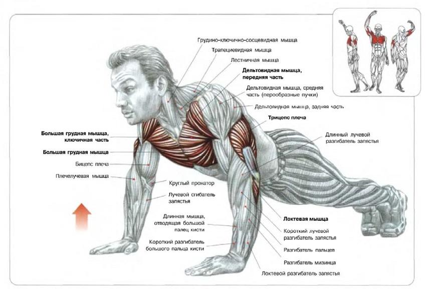 Работа мышц при отжиманиях от пола